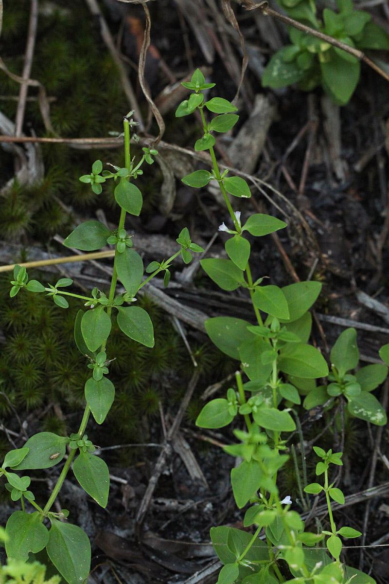 Congolanthus longidens