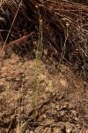 Nidorella spartioides
