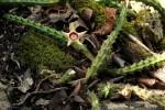 Huernia verekeri subsp. pauciflora