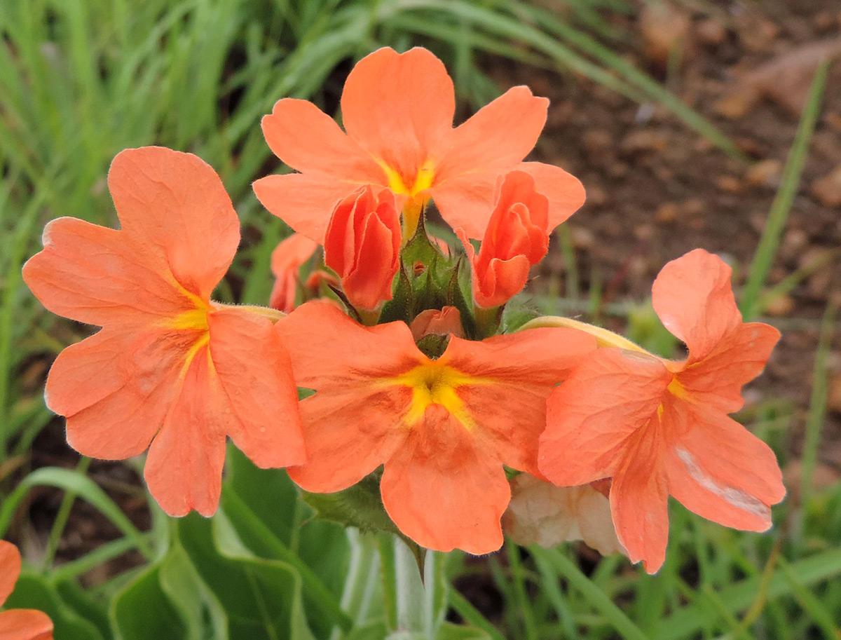 Crossandra greenstockii