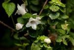 Acanthopale confertiflora