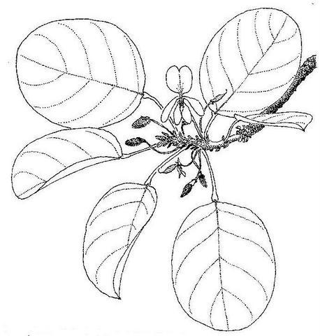 Baphia bequaertii