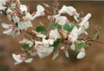 Baphia massaiensis subsp. floribunda