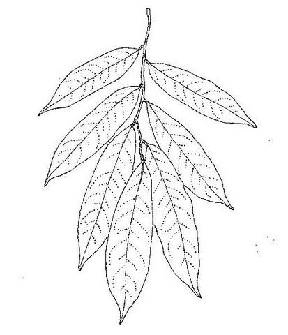 Craibia affinis