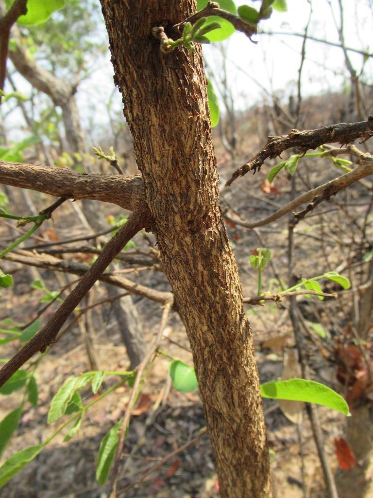 Philenoptera katangensis