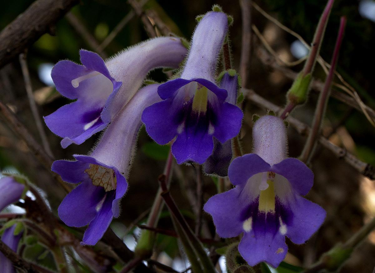 Streptocarpus wittei