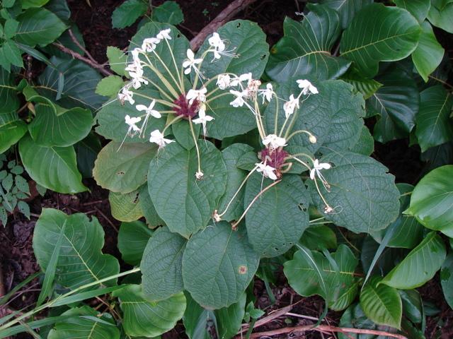 Clerodendrum capitatum