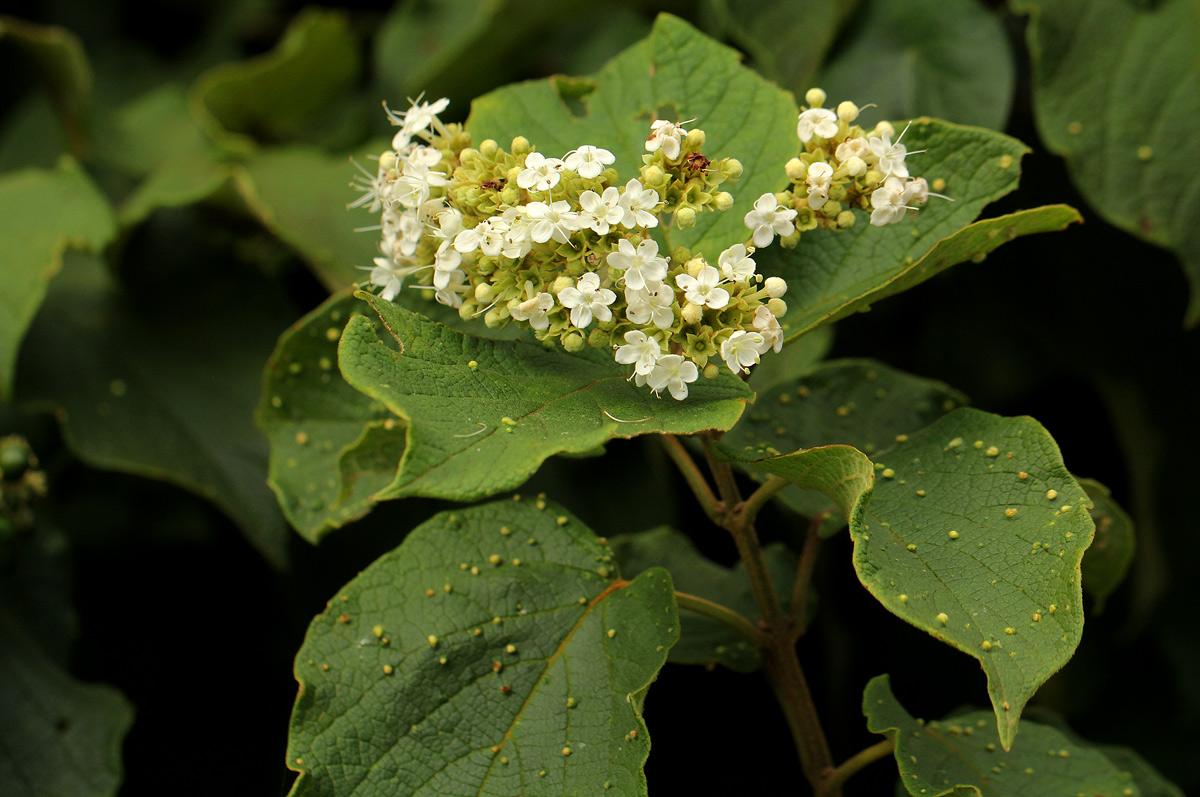 Clerodendrum johnstonii
