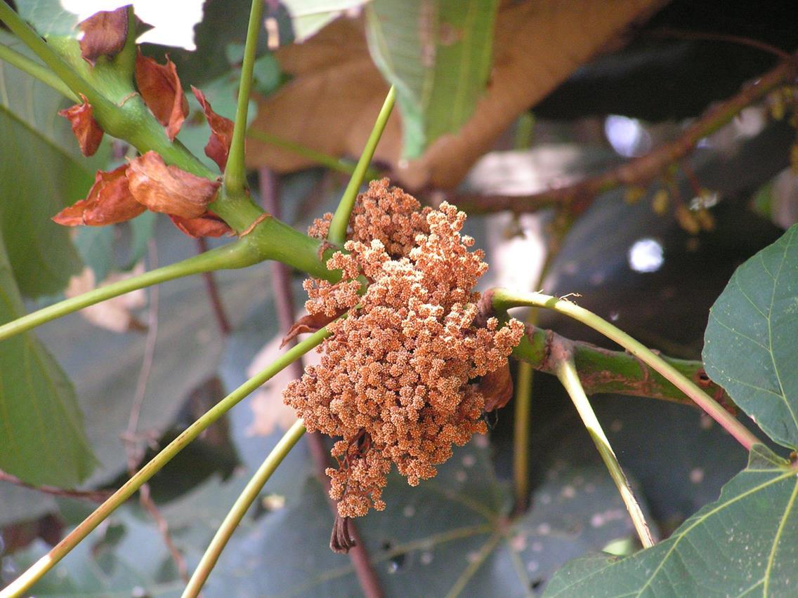 Macaranga schweinfurthii