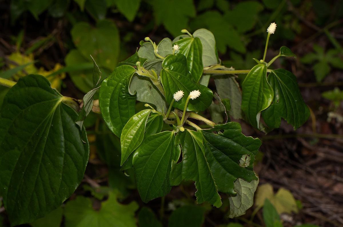 Piper capense var. brachyrhachis