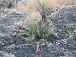 Euphorbia luapulana