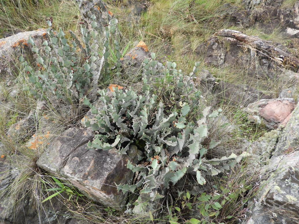 Euphorbia williamsonii