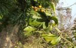 Dracaena camerooniana