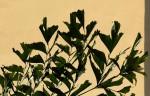 Caryota urens