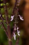 Plectranthus masukensis var. masukensis