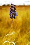 Plectranthus mirabilis
