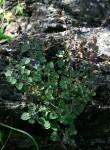 Plectranthus selukwensis