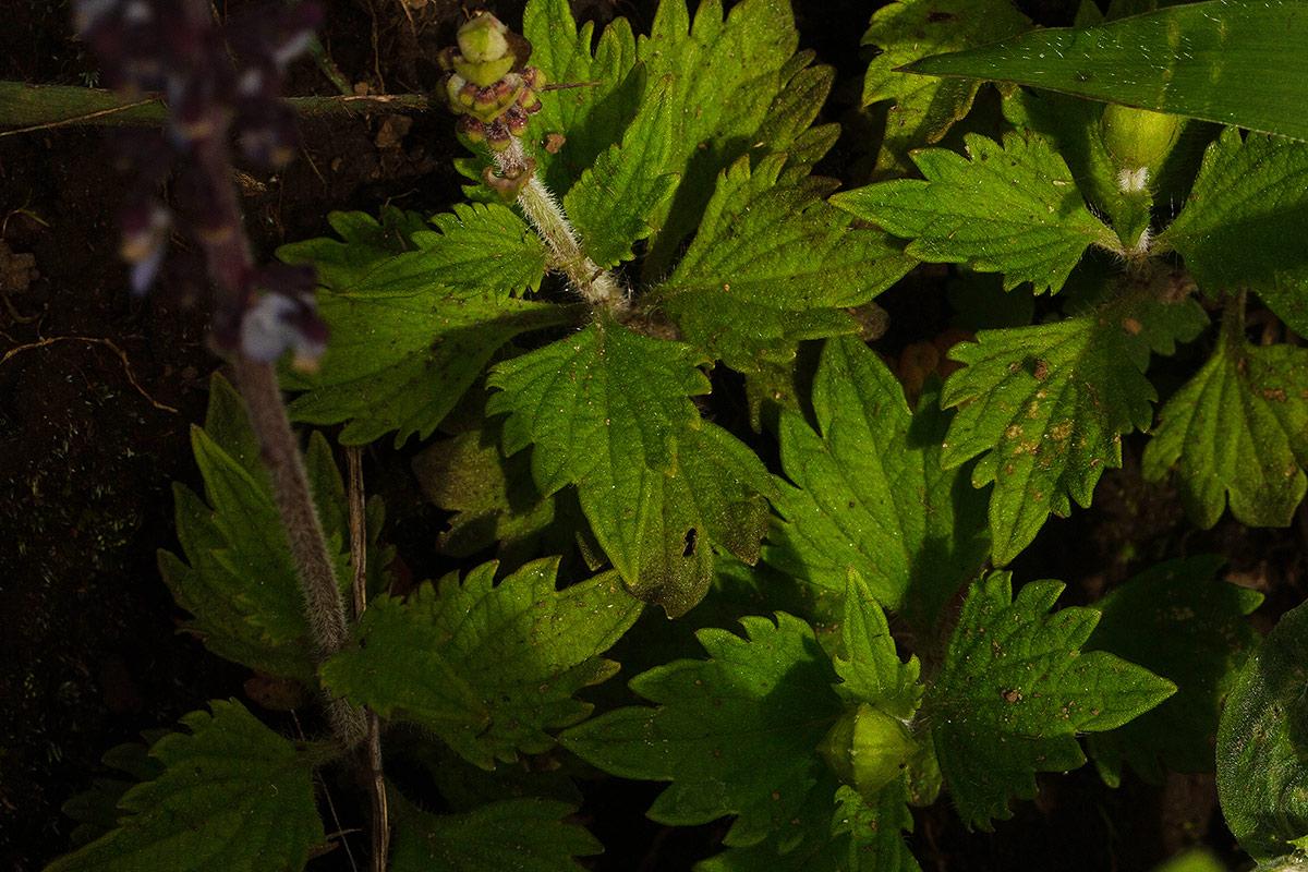 Plectranthus sigmoideus