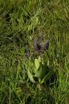 Equilabium viphyense subsp. zebrarum