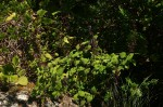 Plectranthus autranii