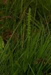 Habenaria xanthochlora
