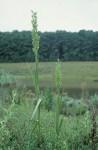 Roeperocharis bennettiana