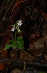 Disperis aphylla subsp. bifolia