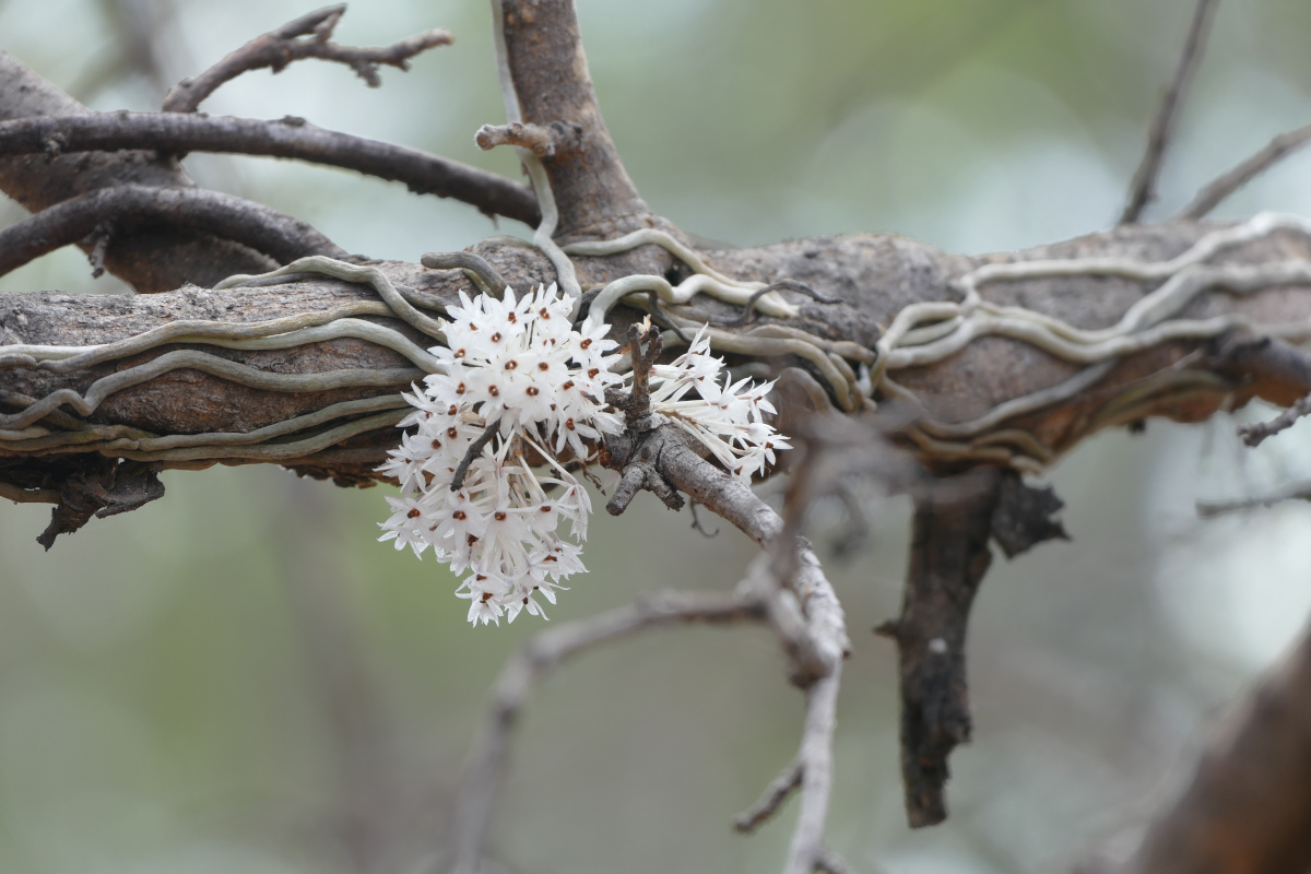 Microcoelia hirschbergii
