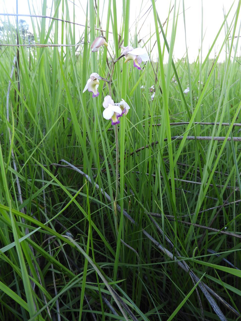 Eulophia calantha
