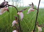 Eulophia caricifolia