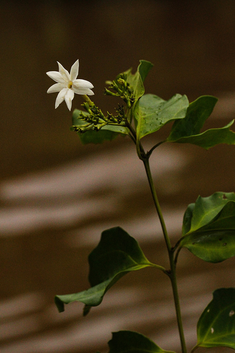 Jasminum dichotomum