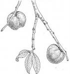 Chrysophyllum bangweolense