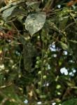 Thecacoris trichogyne