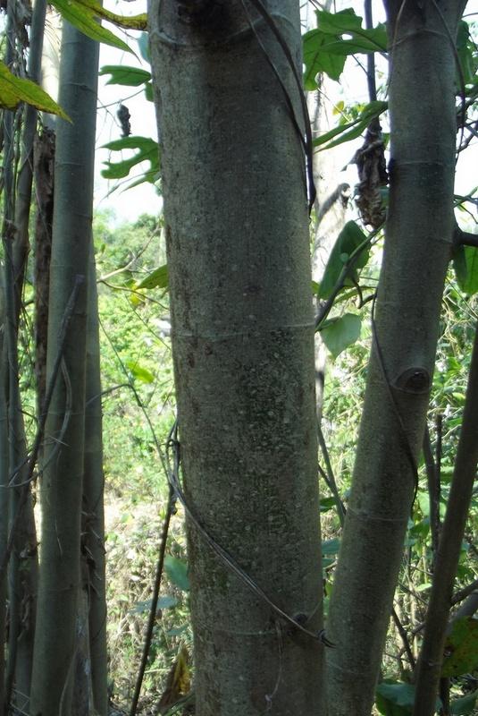 Ficus asperifolia
