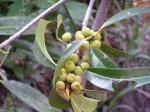 Ficus barteri