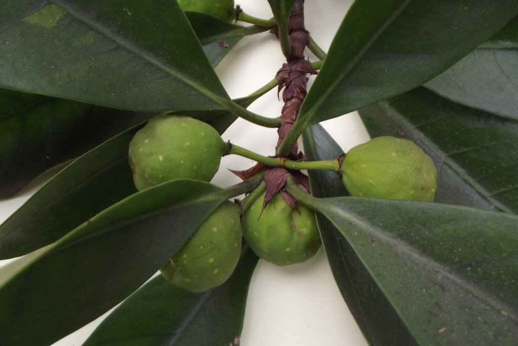 Ficus cyathistipula subsp. cyathistipula