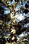Ficus dicranostyla
