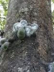 Ficus ottoniifolia subsp. macrosyce