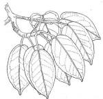 Ficus sansibarica subsp. macrosperma