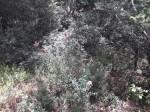 Alvesia rosmarinifolia
