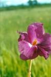 Siphonochilus pleianthus