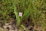 Siphonochilus kilimanensis