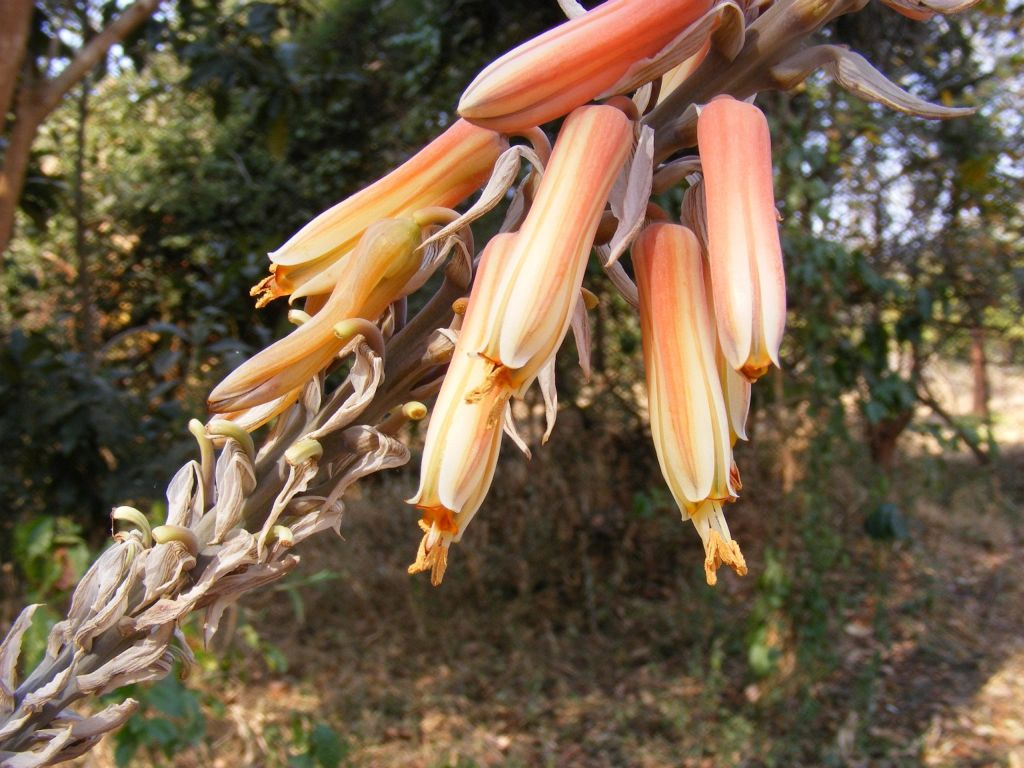 Aloe esculenta