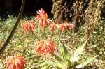 Aloe mzimbana