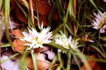Androcymbium roseum