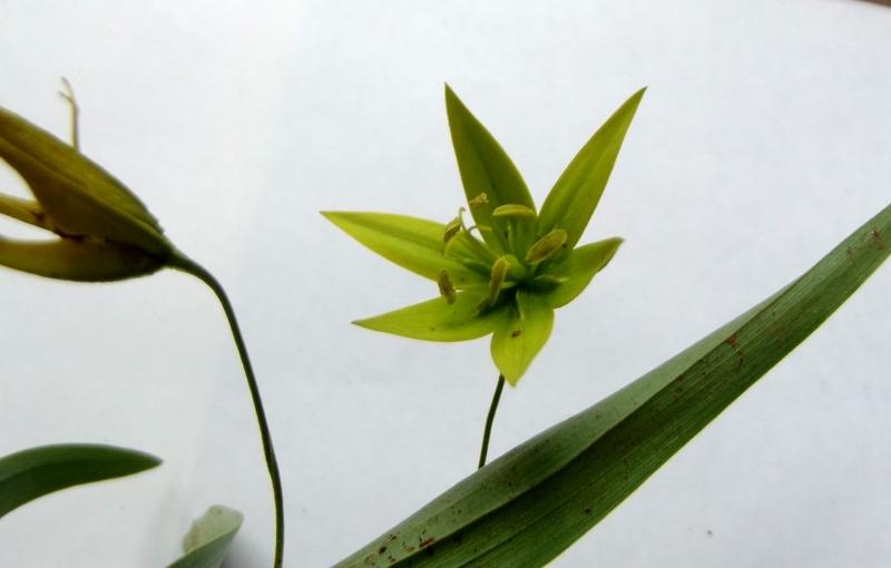 Littonia littonioides