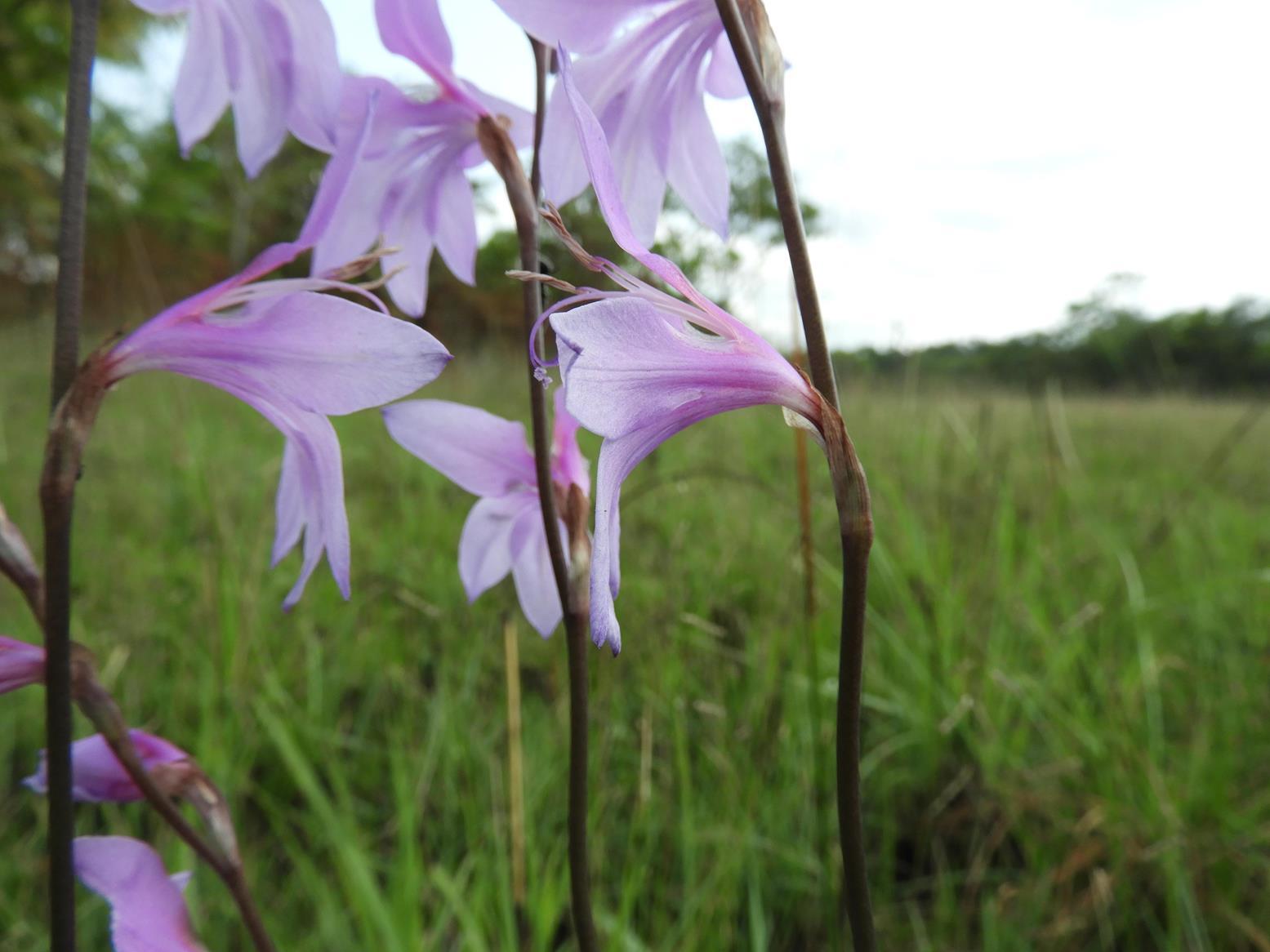 Gladiolus laxiflorus