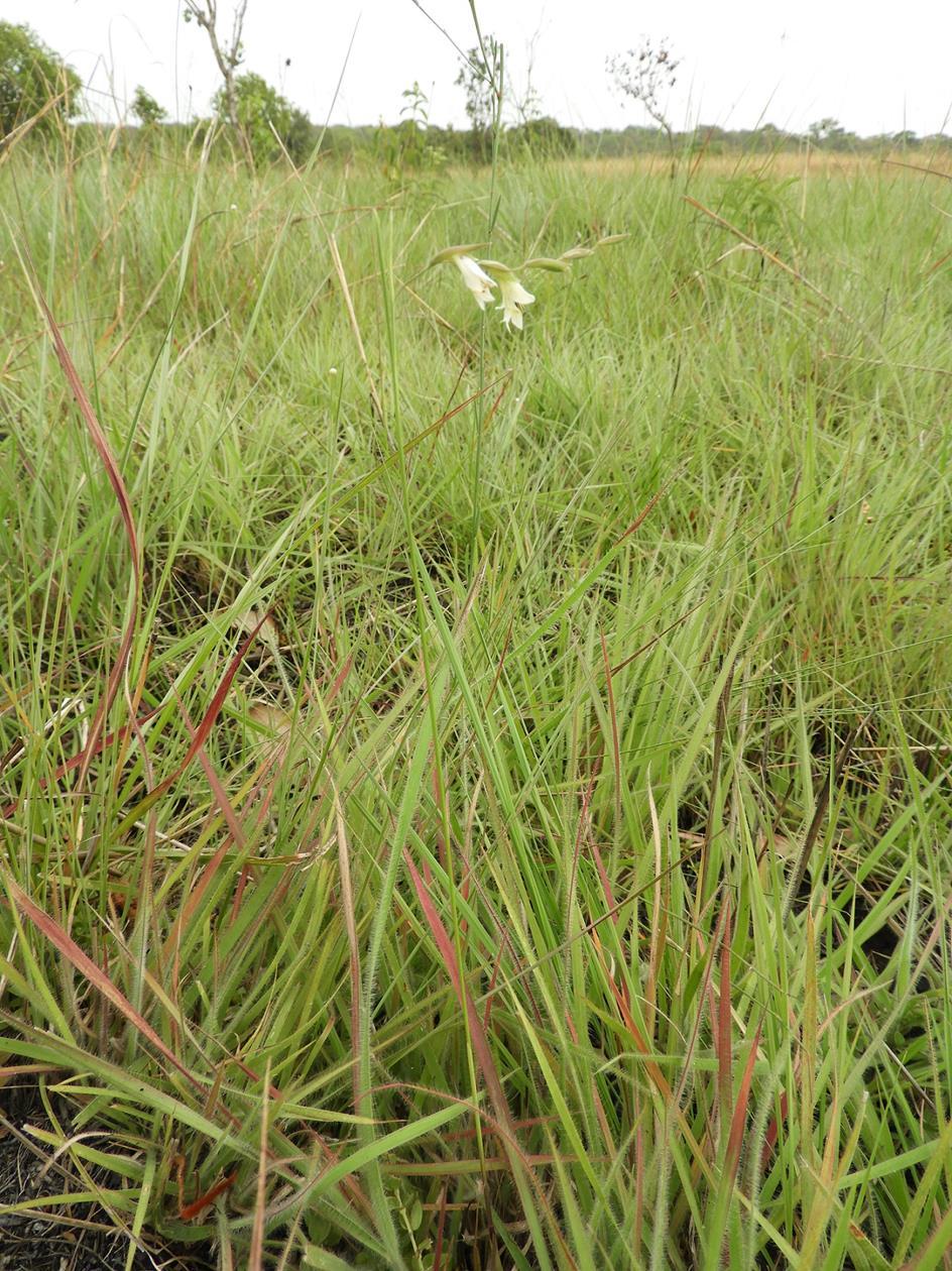Gladiolus pusillus