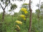 Gladiolus serapiiflorus