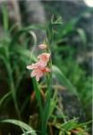 Gladiolus serenjensis